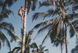 INDIA-Dieter-climbs-a-Coconut-tree-in-Goa